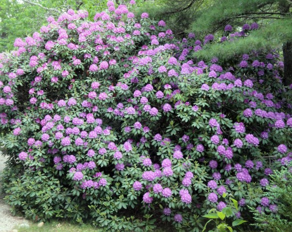 rhododendrons, spring flowers
