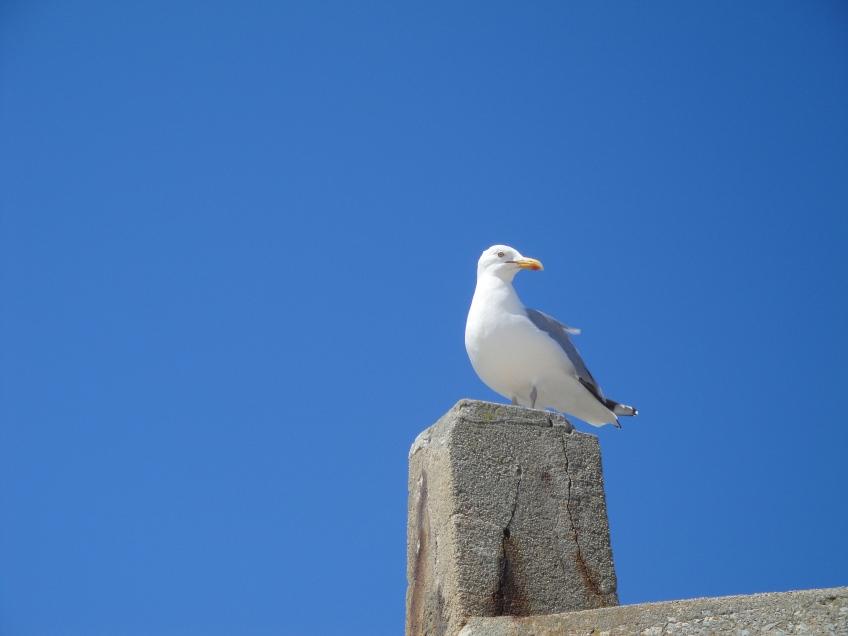 Cape Cod seagull