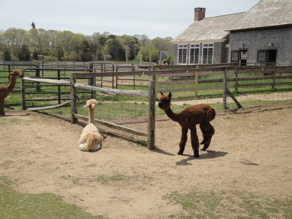 Island Alpaca, Martha's Vineyard