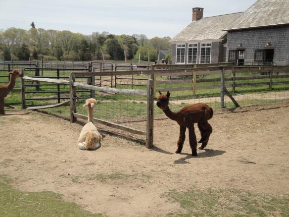Island Alpaca, Martha's Vineyard