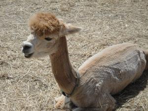 alpaca smile