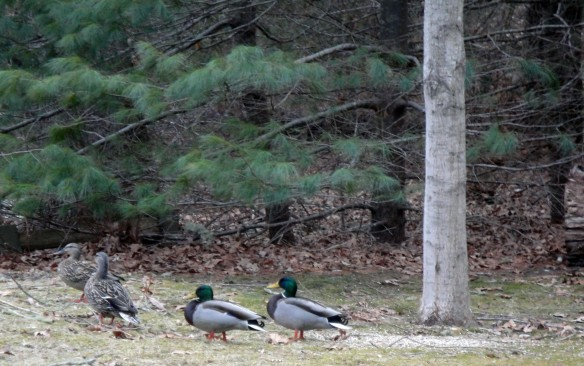 ducks in the woods