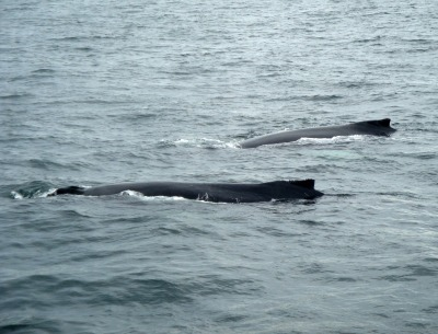 whales arching
